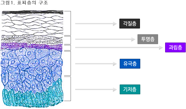 표피층의 구조